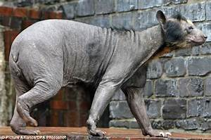 Hairless Bears Have it Tough, Look Super Creepy-Scary ...