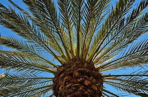 photo palm tree date palm shade tree  image