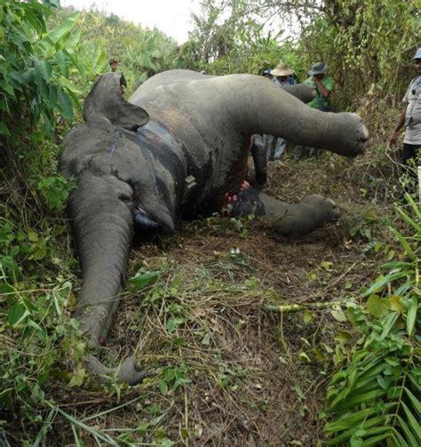 poachers  killing endangered asian elephants