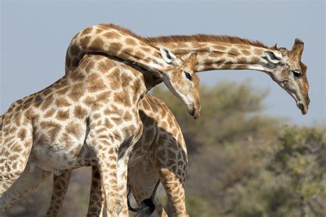 Giraffes Fight by Violently Slamming Necks