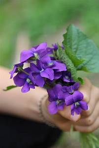 Violet's Edible and Medicinal Uses | Chestnut School of ...