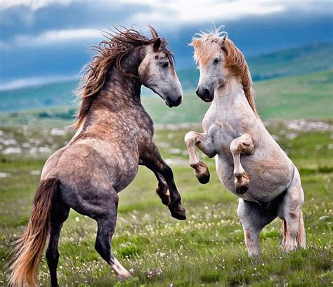 horse herd wild stallions animal behaviour horses fighting continents mares vedran vidak seems difference courtesy different
