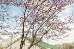Anthurie Blüht Nicht : chinesischer judasbaum winterhart oder frostempfindlich ~ Frokenaadalensverden.com Haus und Dekorationen