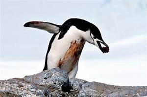 """Chinstrap Penguin – """"OCEAN TREASURES"""" Memorial Library"""