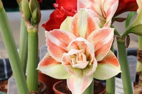 amaryllis blüht nicht amaryllis bl 252 ht nicht so bringen sie die pflanze schnell zum bl 252 hen