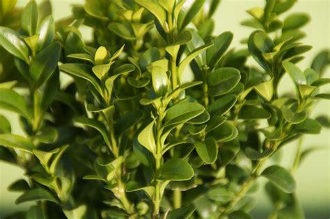buchsbaum buxus sempervirens arborescens guenstig