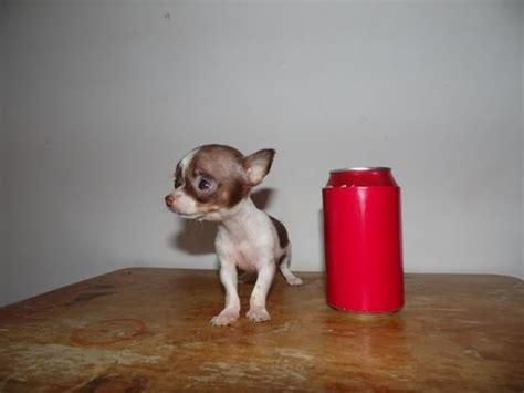 micro teacup chihuahua  sale youtube