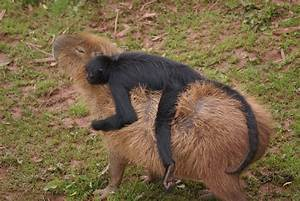 Capybaras are cute, even though they eat their own poop ...
