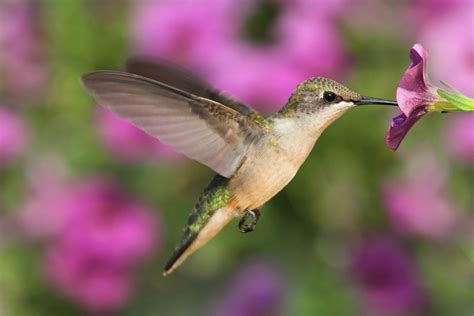 best plants to attract hummingbirds simplemost