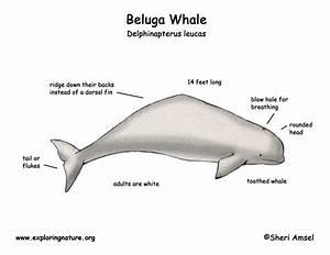 News And Hairstyles  Beluga Whale Calf