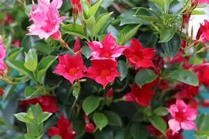 Blühende Zimmerpflanzen Pflegeleicht : bl hende zimmerpflanzen pflegeleichte dauerbl her von a ~ Michelbontemps.com Haus und Dekorationen
