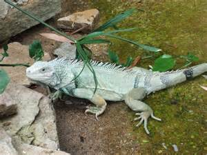 Iguanas Lizards Animals