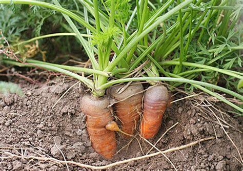 ปลูกแครอท กินเองที่บ้านไม่ยากอย่างที่คิด