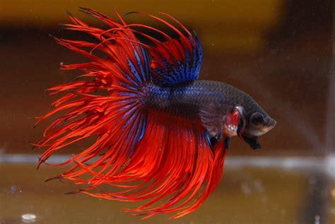7 gambar jenis dan cara ternak ikan cupang kang suhe 39 s blog