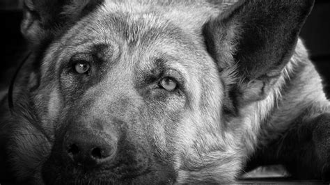 black  white dog wallpapers hd long wallpapers