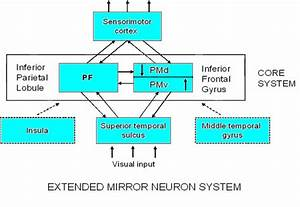 Schematic Of Areas In The Human Brain That Contain Mirror