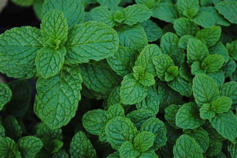 herbs westwood gardens