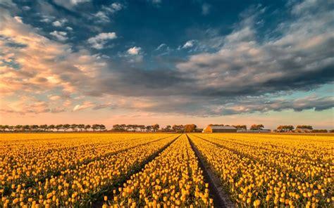 wallpapers yellow tulips tulip field sunset