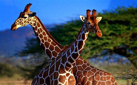 giraffe wallpapers wallpaper cave