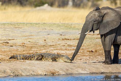 elephant  crocodile burrard lucas photography