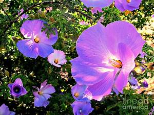Pretty Purple Flowers Of Arizona Photograph by Michaline Bak