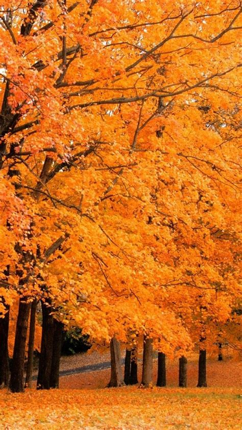 Iphone 11 Wallpaper Hd Autumn by Autumn Maple Leaves Iphone 6 Wallpapers Fall Wallpaper