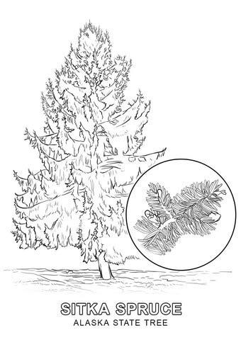 alaska state tree coloring page  printable coloring