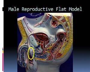 I Male Reproductive Flat Model At Galen College Of Nursing