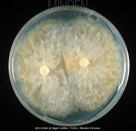 https://www.mindenpictures.com/search/preview/root-rot-phytophthora-parasitica-culture-on-pda-plate/0_80115366.html