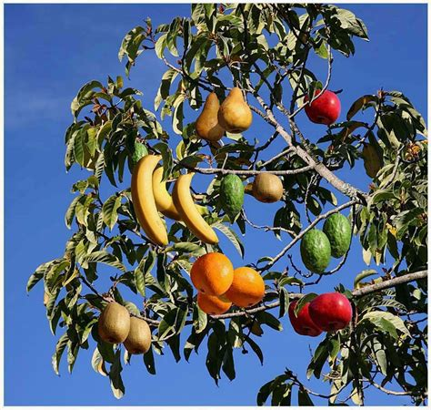 Amazing And Interesting Facts Fruit Salad Tree  A Tree