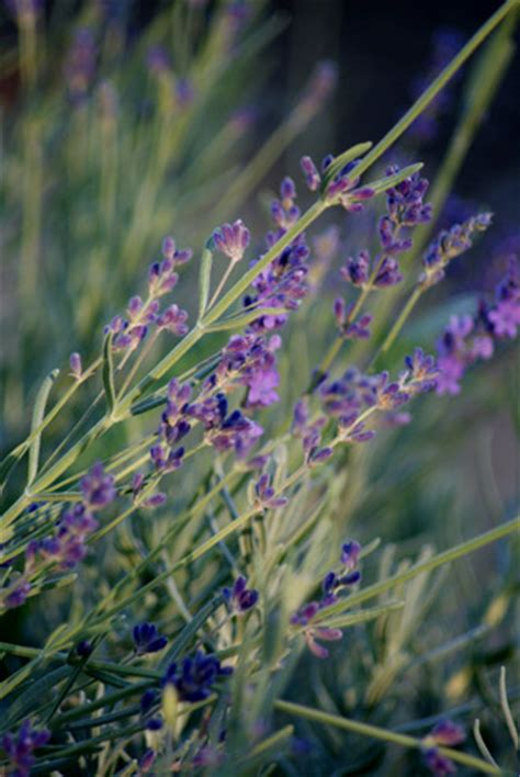 can i plant lavender in september top 28 can i plant lavender in september how to grow lavender in your garden garden