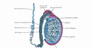 Struktur dan fungsi alat - alat reproduksi pada laki - laki