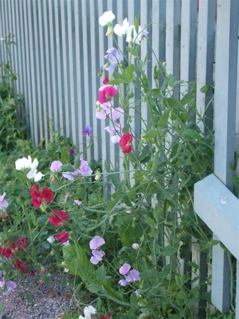 plants that grow up fences 17 best images about growing peas on pinterest sweet peas growing peas and vegetables