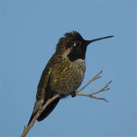 hummingbird new jersey bird photos
