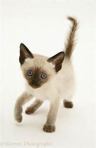 17 Best images about Siamese Kittens on Pinterest | Seal ...