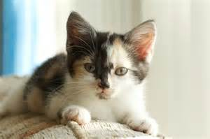calico cat facts seven interesting facts about tortoiseshell and calico