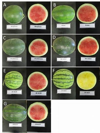 Watermelon Variety Varieties Seedless Watermelons Seeds Difference