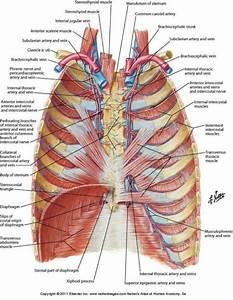 Human Anatomy Rib Cage Organs