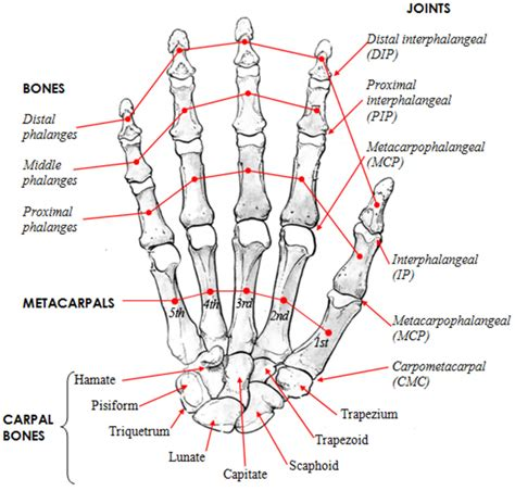 Frontiers The Role Morphology Thumb
