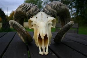 Goat Skull By Borderline