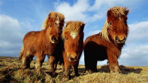 fonds decran trois poney brun  full hd  image