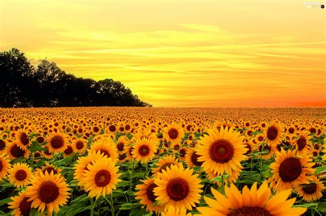 nice sunflowers great sunsets summer flowers