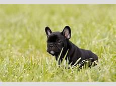 Französische Bulldogge Welpen Bilder & Tipps