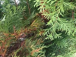 Thuja Hecke Innen Braun : smaragd thuja wird an den nadelspitzen braun pflanzenkrankheiten sch dlinge green24 hilfe ~ Buech-reservation.com Haus und Dekorationen