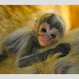 Baby Spider Monkey Pictures | 470 x 409 jpeg 65kB