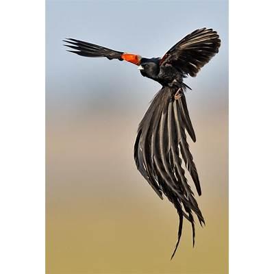 Long-tailed WidowbirdLong-tailed widow bird Jackson's