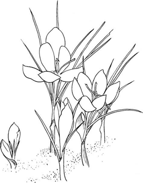 Crocus Drawing at GetDrawings   Free download
