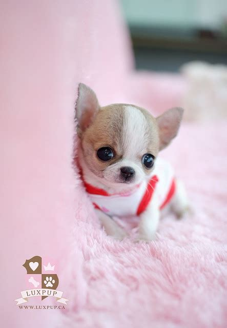 teacup chihuahua bringing  cutest   tiniest