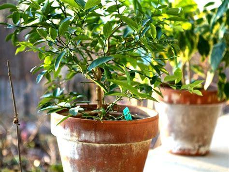 planter un oranger en pot oranger et citronnier en pot c est possible