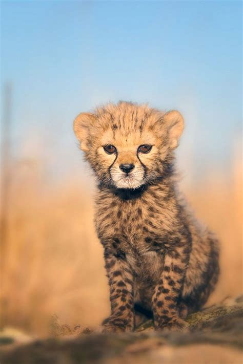 baby cheetah favorite animal animals cute animals